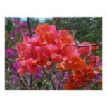 Tropical Pink Bougainvillea Poster