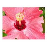 Tropical Pink Hibiscus Postcard