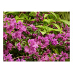 Tropical Purple Bougainvillea Flowers Poster
