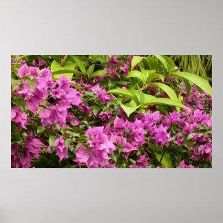 Tropical Purple Bougainvillea Poster