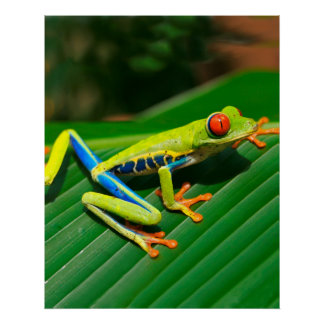 Tropical rainforest green red-eyed tree Frog Poster