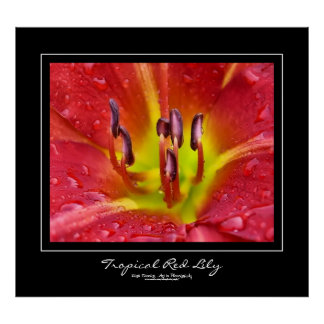 Tropical Red Lily Black Border Poster