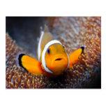 Tropical reef fish - Clownfish Postcard