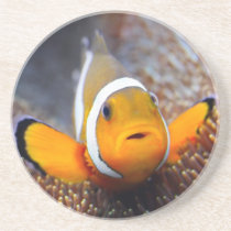Tropical reef fish - Clownfish Sandstone Coaster