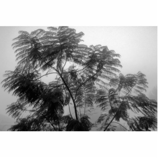 Tropical Tree Black and White in fog Photo Cutout