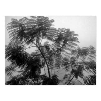 Tropical Tree Black and White in fog Postcard