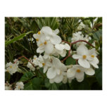 Tropical White Begonia Flowers Poster