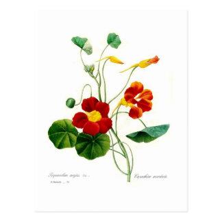 Tropoeolum majus(nasturtium) postcard