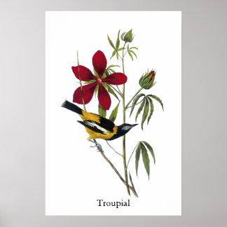 Troupial - John James Audubon Poster