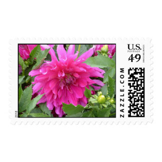 """True Colors...a Pink Dahlia"" Postage"