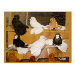 Trumpeter Pigeon Champions Post Card