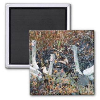 Trumpeter Swan Cygnets Magnet