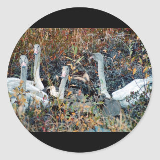 Trumpeter Swan Cygnets Classic Round Sticker