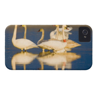 Trumpeter swan family in last light at pond at 2 iPhone 4 Case-Mate cases