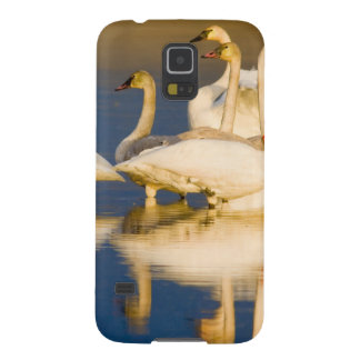 Trumpeter swan family in last light at pond at 2 galaxy s5 covers