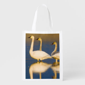 Trumpeter swan family in last light at pond at 2 grocery bag