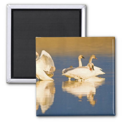 Trumpeter swan family in last light at pond at 2 inch square magnet