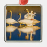Trumpeter swan family in last light at pond at 2 metal ornament