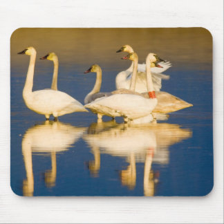 Trumpeter swan family in last light at pond at 2 mouse pad