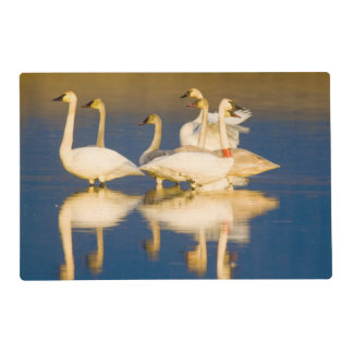 Trumpeter swan family in last light at pond at 2 laminated placemat