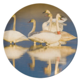 Trumpeter swan family in last light at pond at 2 dinner plates