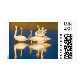 Trumpeter swan family in last light at pond at 2 postage
