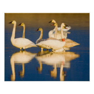 Trumpeter swan family in last light at pond at 2 poster