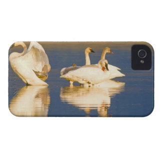 Trumpeter swan family in last light at pond at iPhone 4 Case-Mate case