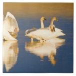 Trumpeter swan family in last light at pond at ceramic tile