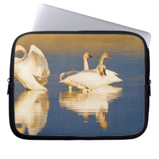 Trumpeter swan family in last light at pond at computer sleeves