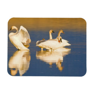 Trumpeter swan family in last light at pond at magnet