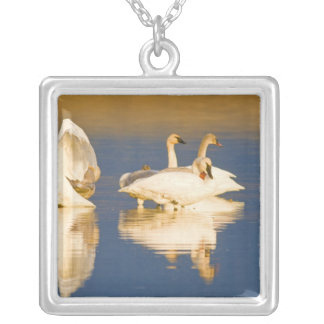 Trumpeter swan family in last light at pond at square pendant necklace