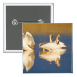 Trumpeter swan family in last light at pond at pinback button