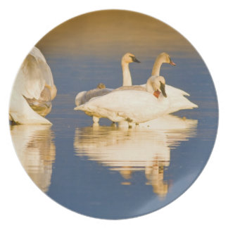 Trumpeter swan family in last light at pond at dinner plates