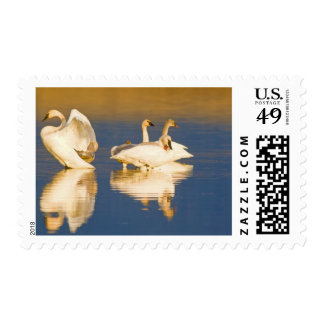 Trumpeter swan family in last light at pond at postage