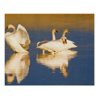 Trumpeter swan family in last light at pond at poster