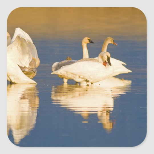 Trumpeter swan family in last light at pond at square sticker