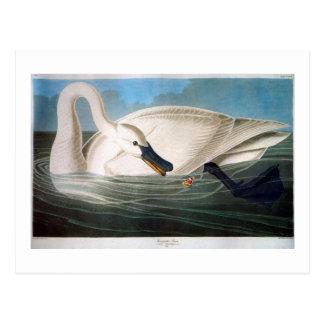 Trumpeter Swan, John James Audubon Fine Art Postcard