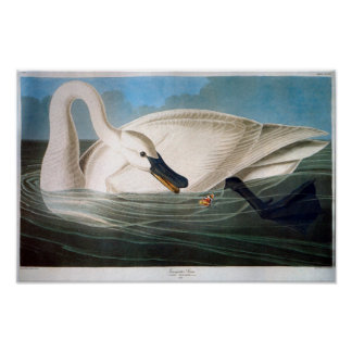 Trumpeter Swan, John James Audubon Poster