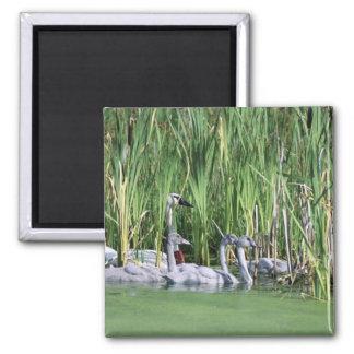 Trumpeter swan refrigerator magnets
