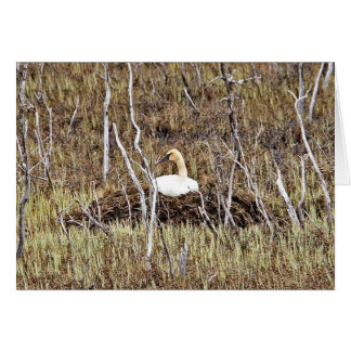 Trumpeter Swan on Nest Greeting Card