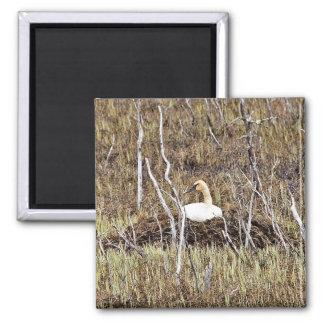 Trumpeter Swan on Nest Fridge Magnet