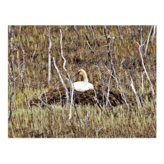 Trumpeter Swan on Nest Post Card