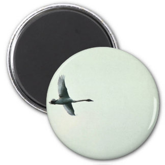 Trumpeter Swan over Martin Lake Refrigerator Magnets