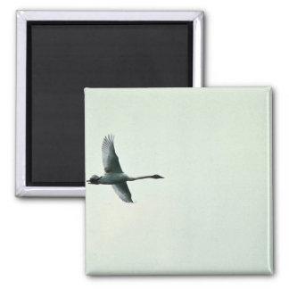 Trumpeter Swan over Martin Lake Refrigerator Magnet