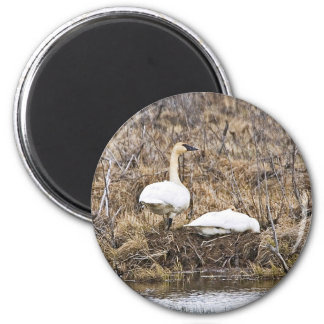 Trumpeter Swan Pair at Nest Magnet