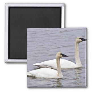 Trumpeter Swan Pair Magnets