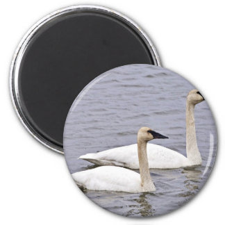 Trumpeter Swan Pair Fridge Magnet