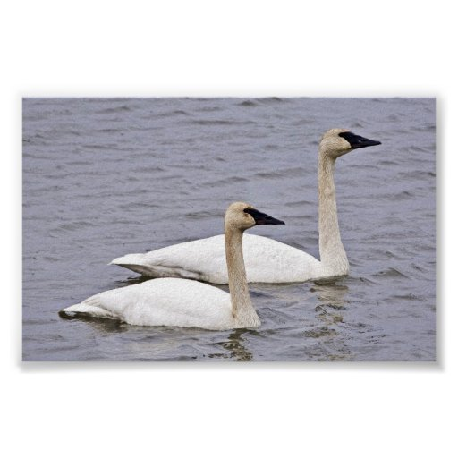 Trumpeter Swan Pair Poster