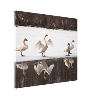 Trumpeter Swan Pairs Stretched Canvas Print